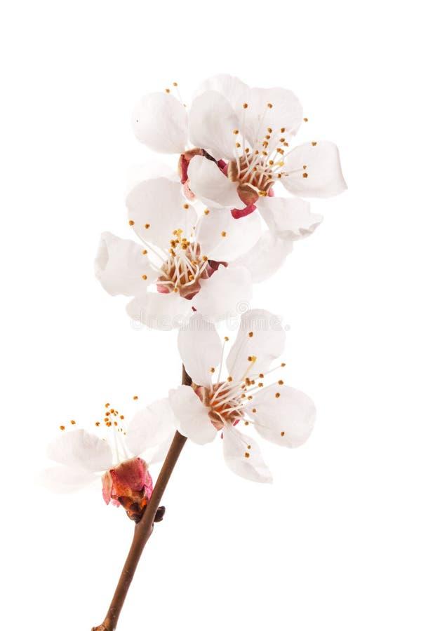 Flores del albaricoque foto de archivo libre de regalías