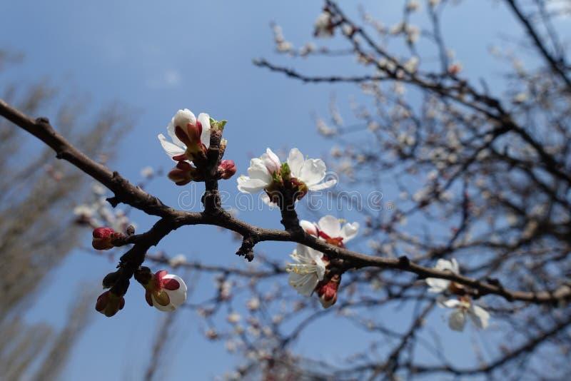 Flores del albaricoque contra el cielo azul fotografía de archivo