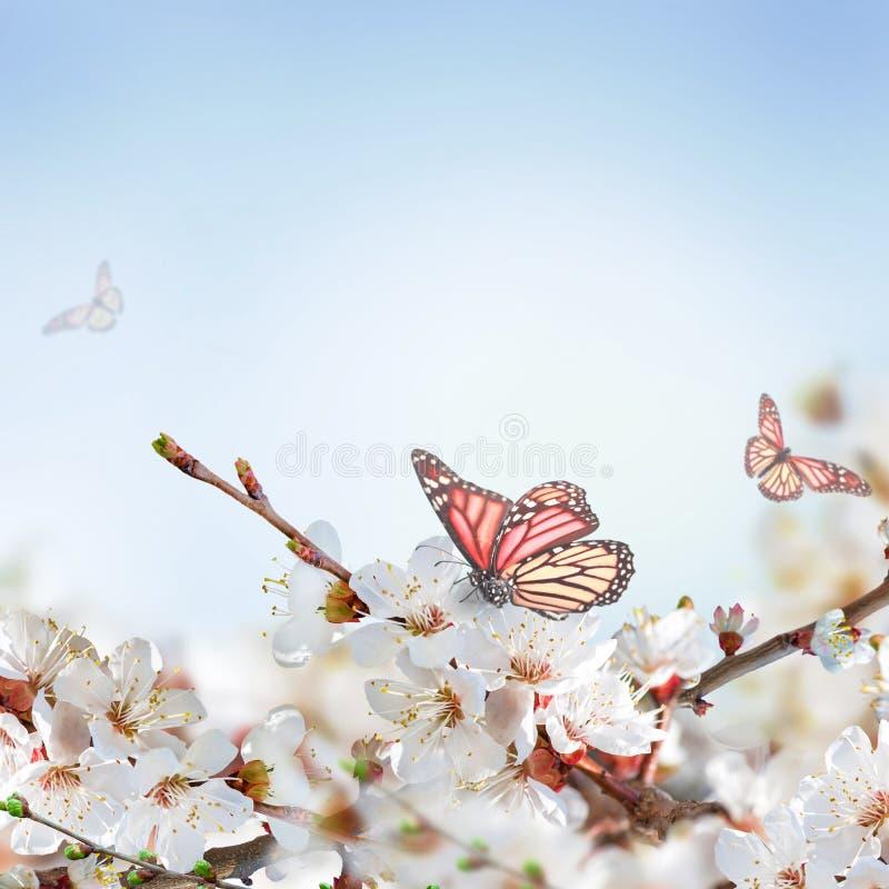 Download Flores Del Albaricoque En Primavera Imagen de archivo - Imagen de fondo, aroma: 42433577
