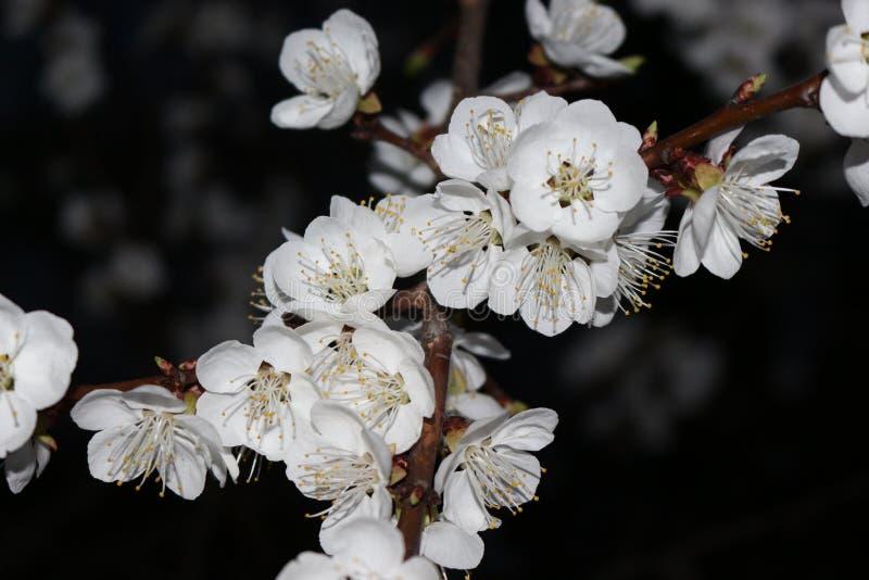 Flores del albaricoque Noche Photography fotos de archivo