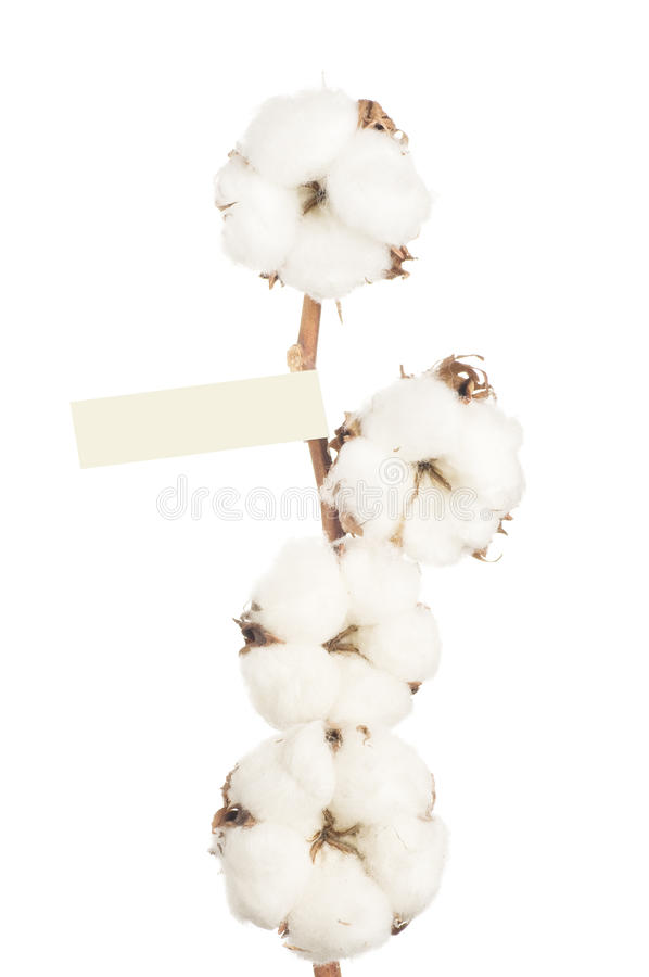 Flores del algodón. foto de archivo libre de regalías