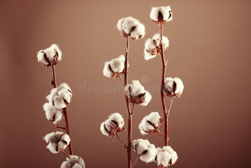 Flores del algodón imagen de archivo
