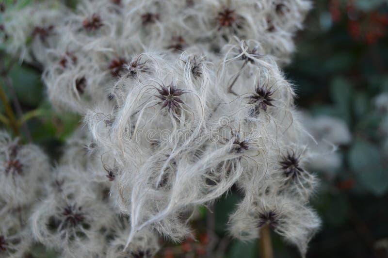 Flores del algodón del invierno fotos de archivo libres de regalías