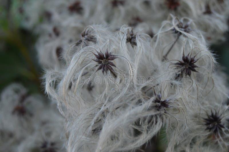 Flores del algodón del invierno imágenes de archivo libres de regalías