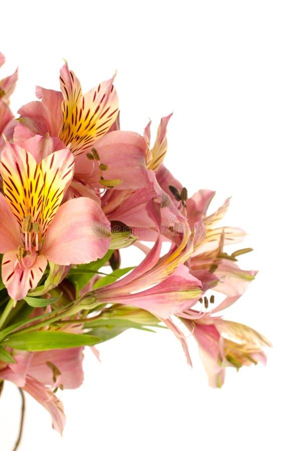 Flores del Alstroemeria aisladas en el fondo blanco fotos de archivo libres de regalías