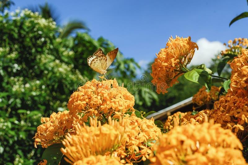 Flores del amarillo del coccinea de Ixora imágenes de archivo libres de regalías