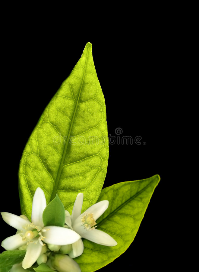 flores del Anaranjado-árbol imágenes de archivo libres de regalías