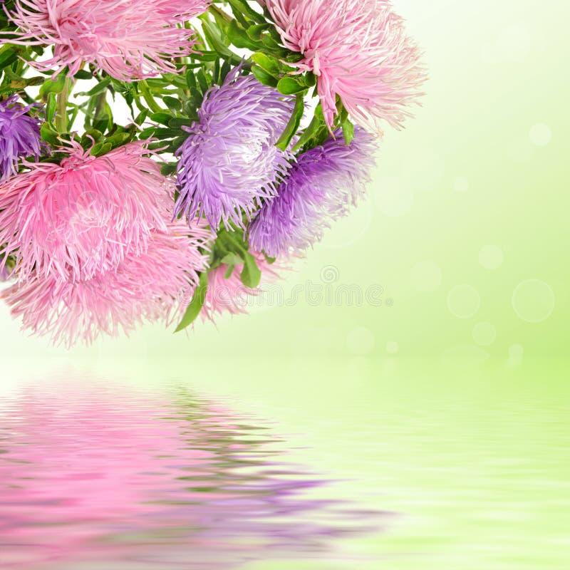 Flores del aster foto de archivo