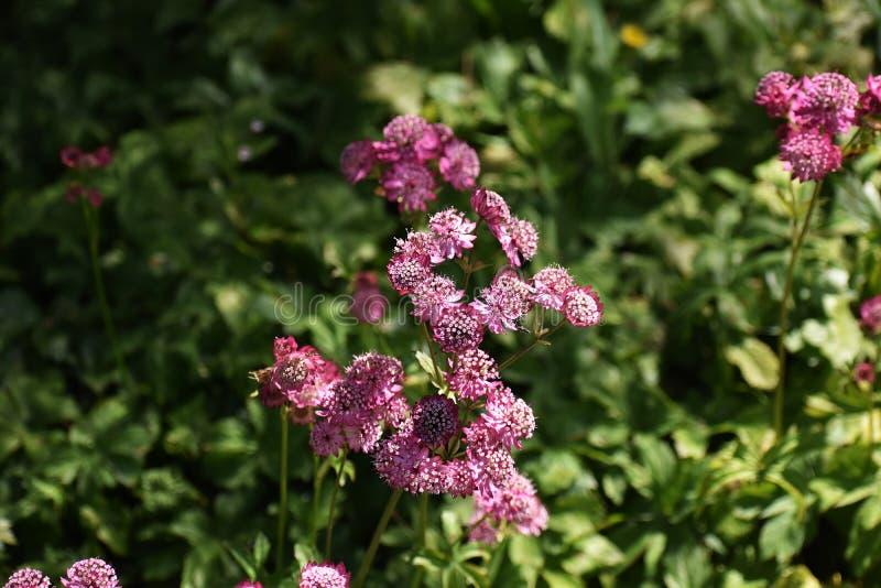 Flores del Astrantia principales en el jardín fotos de archivo libres de regalías