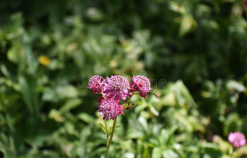 Flores del Astrantia principales en el jardín imagenes de archivo