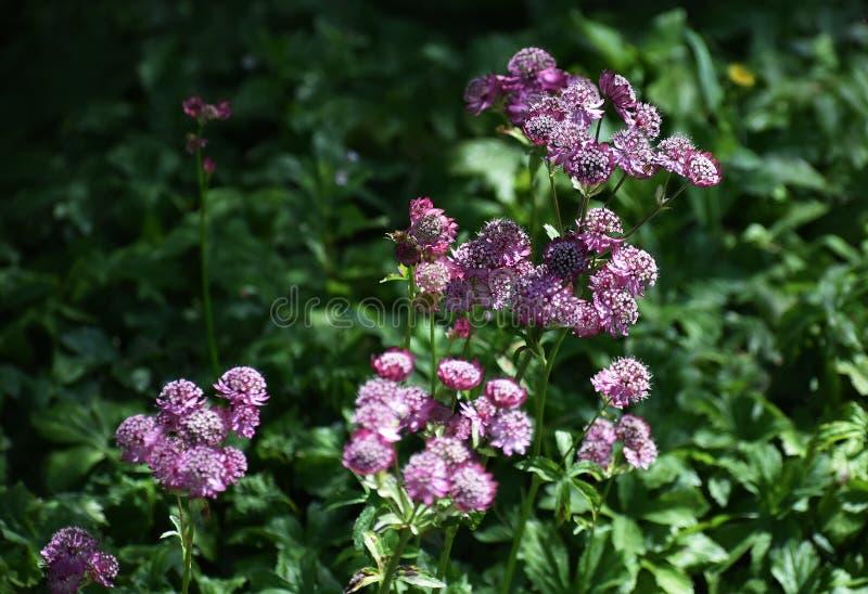 Flores del Astrantia principales en el jardín foto de archivo
