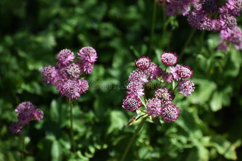 Flores del Astrantia principales en el jardín imagen de archivo libre de regalías