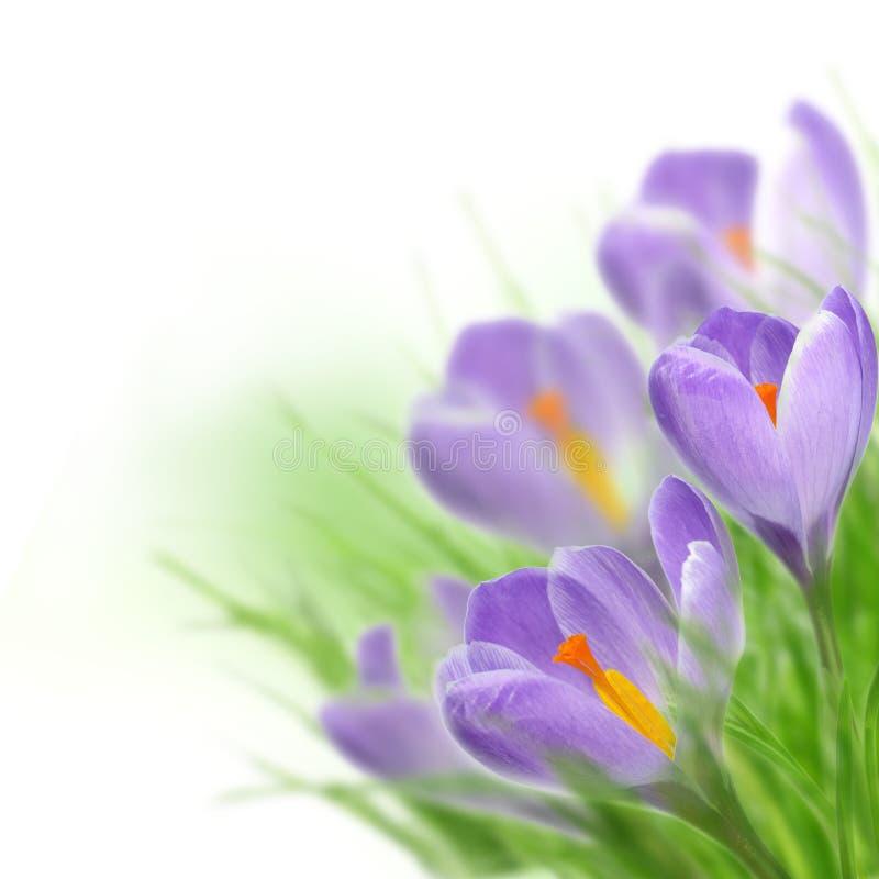 Flores del azafrán foto de archivo