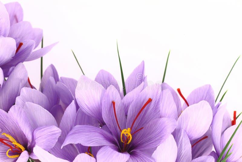 Flores del azafrán imagen de archivo libre de regalías