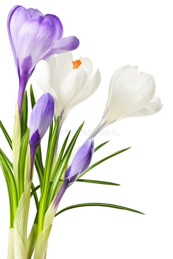 Flores del azafrán del resorte fotos de archivo libres de regalías