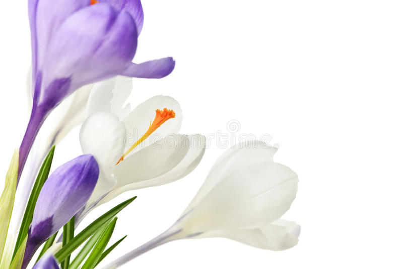 Flores del azafrán del resorte fotografía de archivo