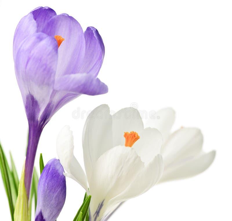 Flores del azafrán del resorte foto de archivo