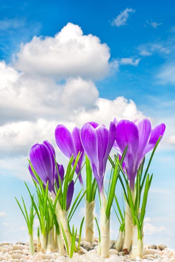 Flores del azafrán del resorte de Beautifil sobre el cielo azul fotografía de archivo libre de regalías