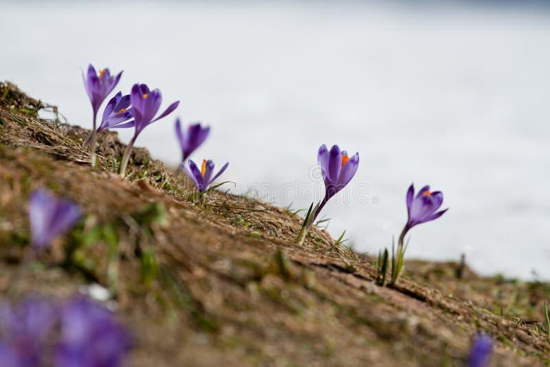 Flores del azafrán en sol de la primavera foto de archivo