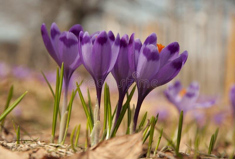 Flores del azafrán en sol de la primavera imágenes de archivo libres de regalías
