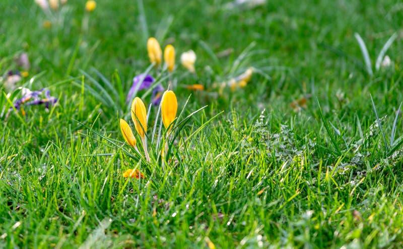 Flores del azafrán salvaje en un prado fotografía de archivo libre de regalías