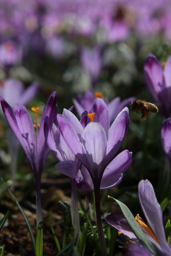 Flores del azafrán y la abeja imagen de archivo libre de regalías