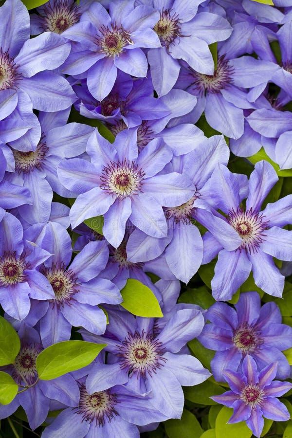 Flores del azul del Clematis imagenes de archivo