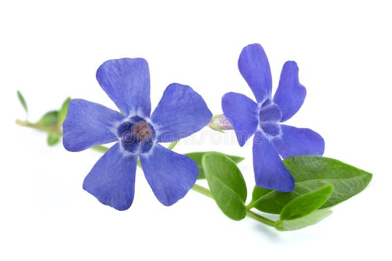 Flores del bígaro foto de archivo