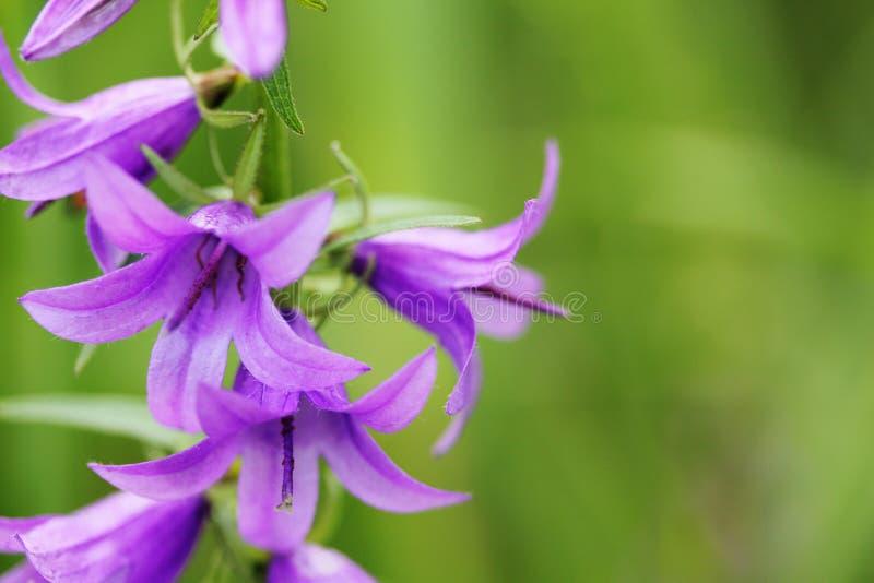 Flores del Bluebell en prado del verano fotografía de archivo