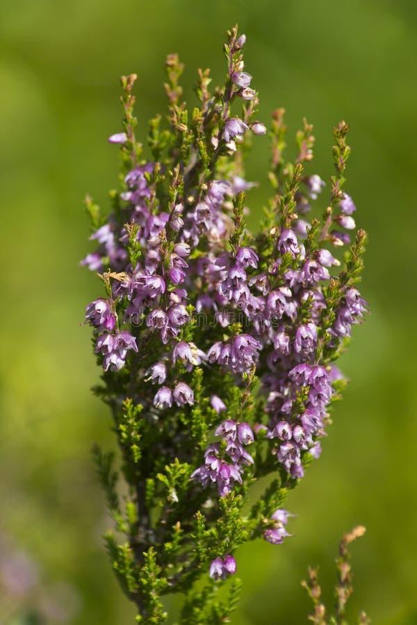 Flores del brezo imagen de archivo libre de regalías