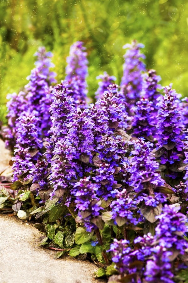 Flores del bugle de la alfombra fotos de archivo