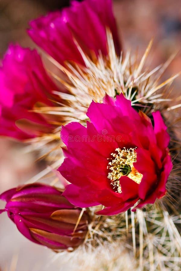 Flores del cacto de erizo del Engelmann imágenes de archivo libres de regalías