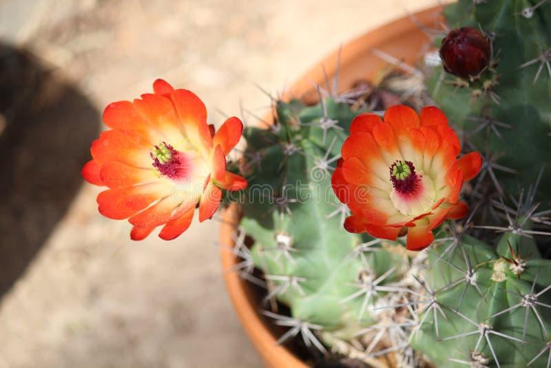 Download Flores del cactus foto de archivo. Imagen de belleza - 41903560