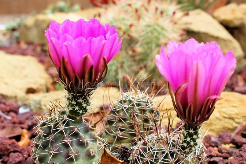 Flores del cactus del acerico fotos de archivo