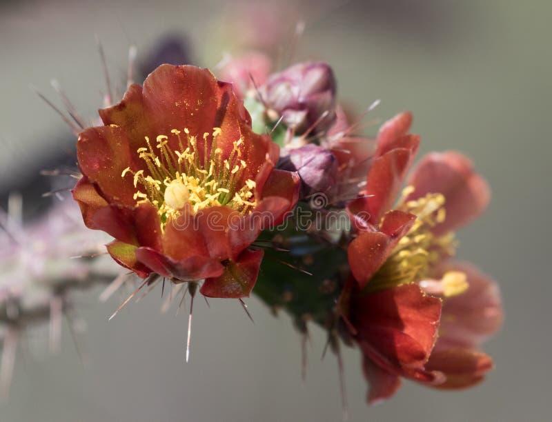 Flores del cactus de Cholla foto de archivo libre de regalías