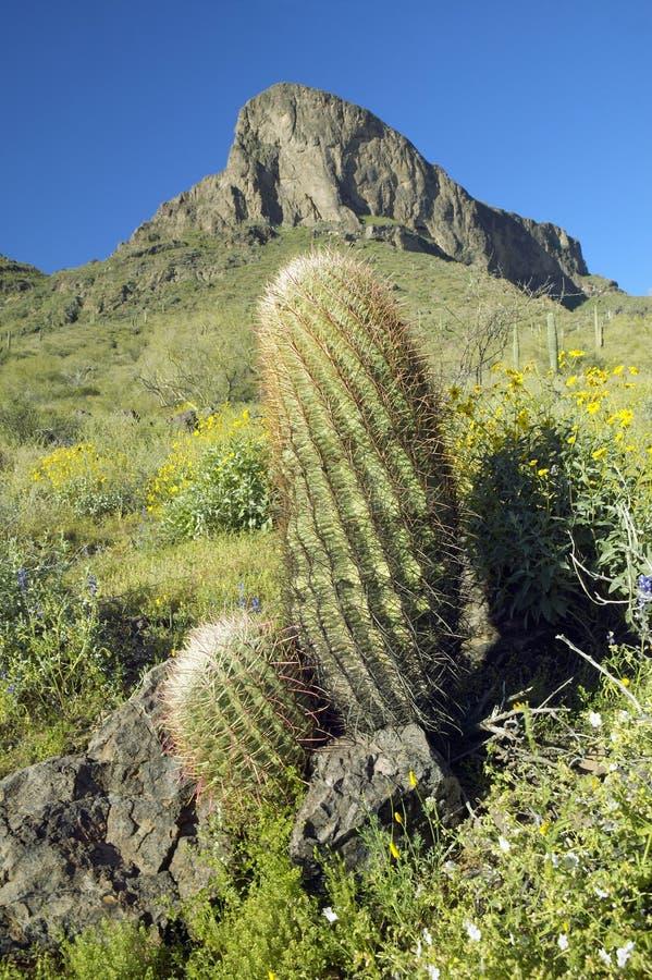 Flores del cactus y del desierto de barril que florecen en primavera en el parque de estado del pico de Picacho al norte de Tucso foto de archivo libre de regalías