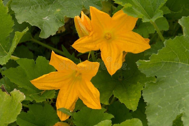 flores del calabacín con las hojas en el jardín imagen de archivo