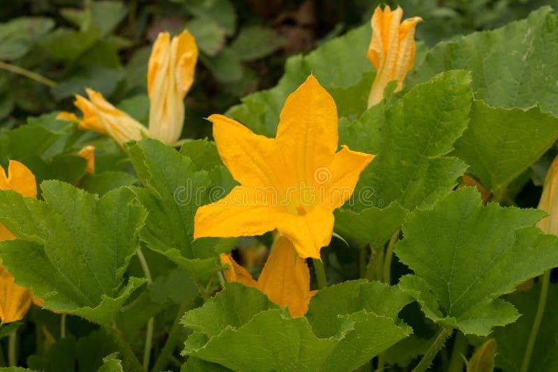 flores del calabacín con las hojas en el jardín imagenes de archivo
