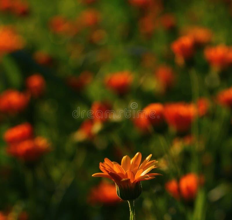 Flores del Calendula fotografía de archivo libre de regalías