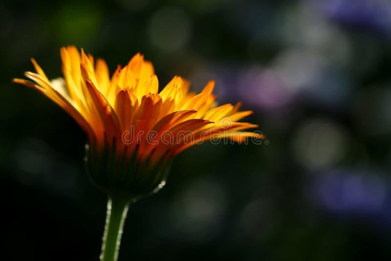 Flores del Calendula imagen de archivo