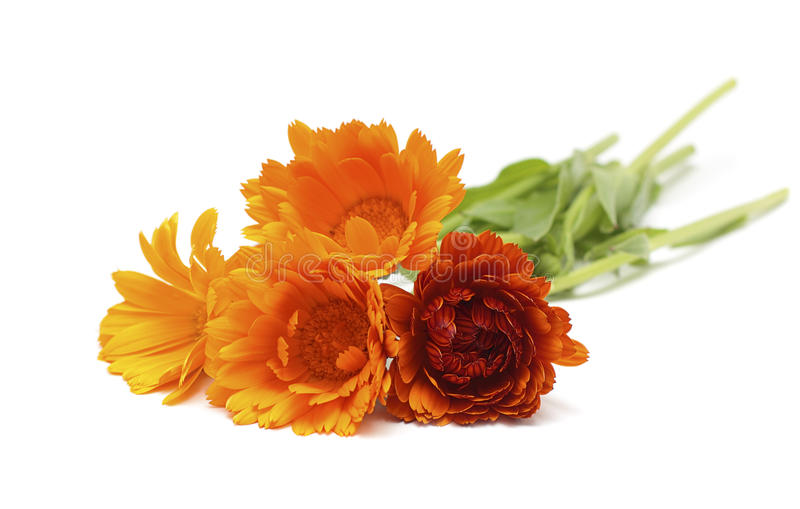 Flores del Calendula imagenes de archivo