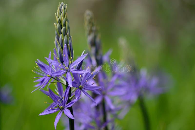 Flores del Camassia en la floración imagen de archivo