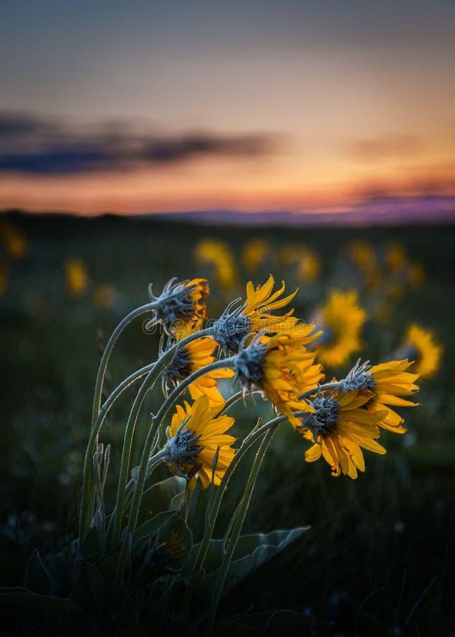 Flores del campo durante una salida del sol foto de archivo