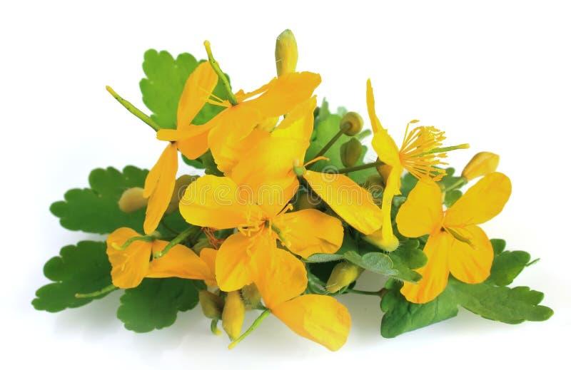 Flores del Celandine imagen de archivo