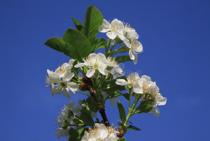 Flores del cerezo imágenes de archivo libres de regalías