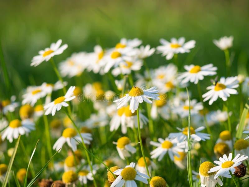 Flores del chamomilla del Matricaria de la manzanilla que florecen en el prado foto de archivo
