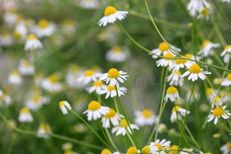 Flores del chamomilla del Matricaria en puesta del sol fotografía de archivo libre de regalías