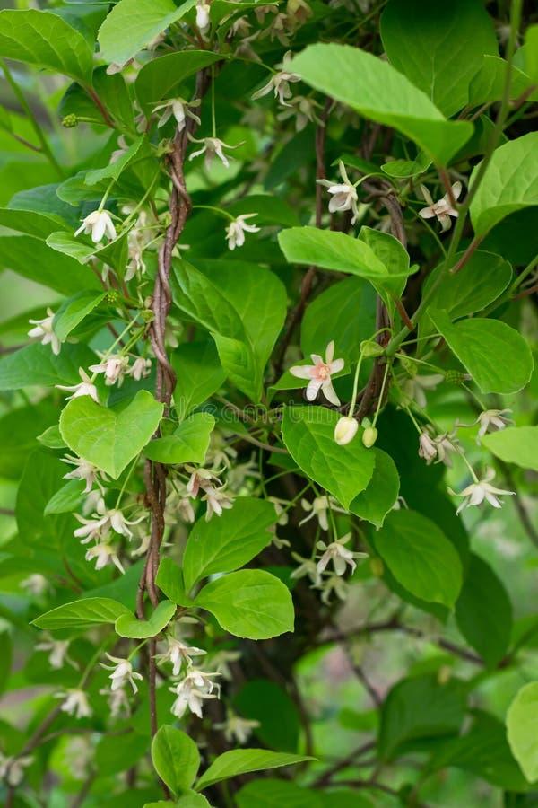 Flores del chino de Schisandra fotografía de archivo