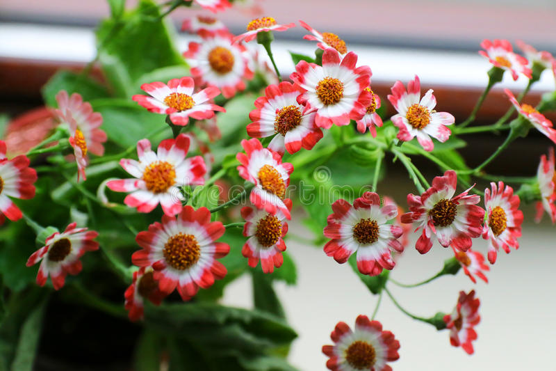 Flores del Cineraria imagen de archivo