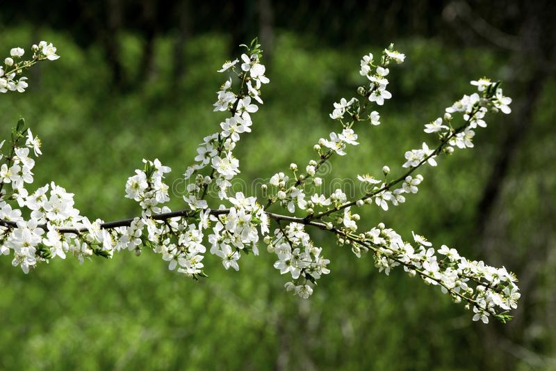 Flores del ciruelo de cereza que florecen en un jardín de la primavera contra la perspectiva de la hierba verde, fondo, contexto foto de archivo
